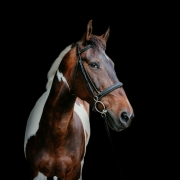 horse portrait black background